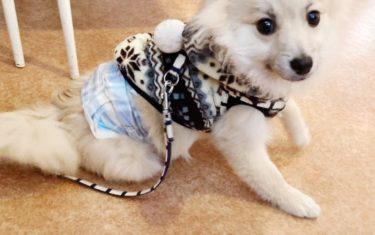 【ポメラニアン子犬】マナーベルト使ってみた【犬用おむつ】