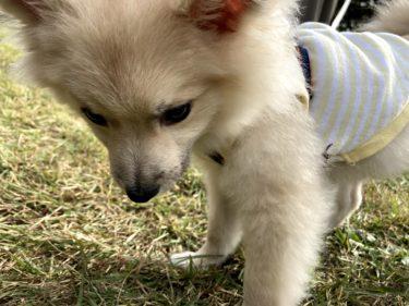【那須】ポメラニアン子犬とドッグラン【映えスポット】